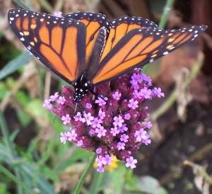 Monarch butterfly by Kristy Swanson from Buffalo Botanical Gardens