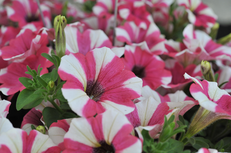 Petunias_RED FOX Peppy Cerise from Dummen