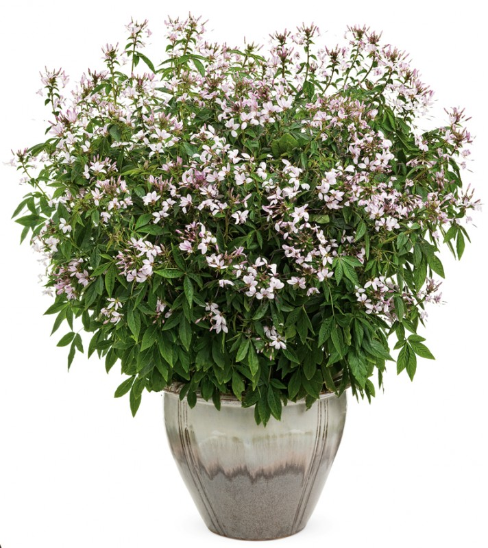 Senorita Blanca white cleome from Proven Winners