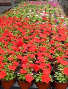 impatiens at Bengert Greenhouses in West Seneca NY