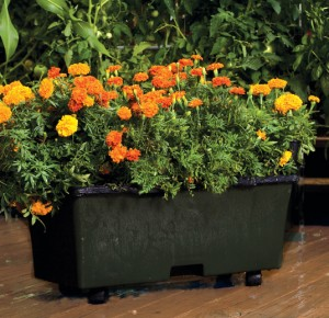 marigolds photo from EarthBox