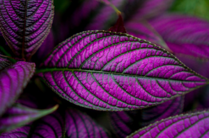 purple leaves by David Niedbala