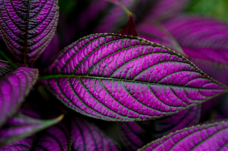 purple leaves by David Niedbala