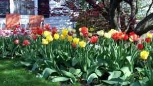 tulips in Cleve-Hill Cheektowaga NY