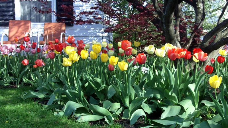 tulips in Cleve-Hill Cheektowaga NY