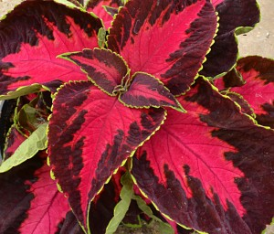 coleus Chocolate Covered Cherry at Buffalo & Erie County Botanical Gardens