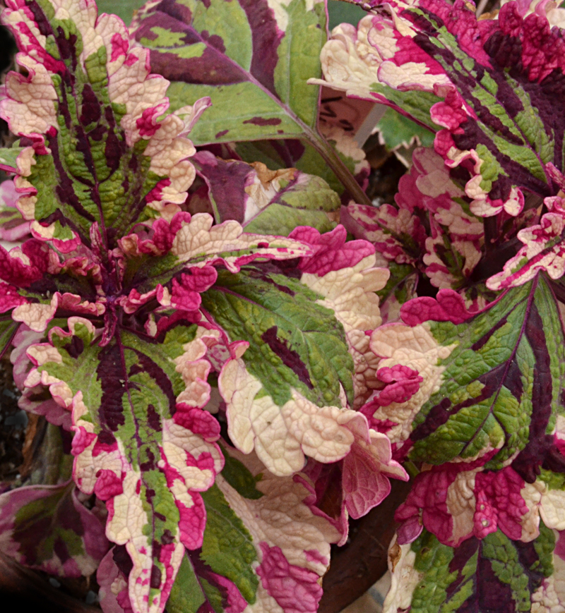 coleus Christmas Candy at Buffalo & Erie County Botanical Gardens