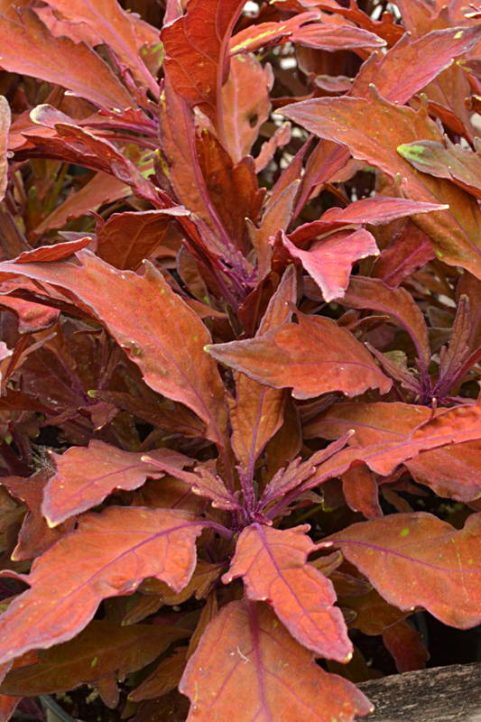 coleus Marquee Bronze at Buffalo & Erie County Botanical Gardens
