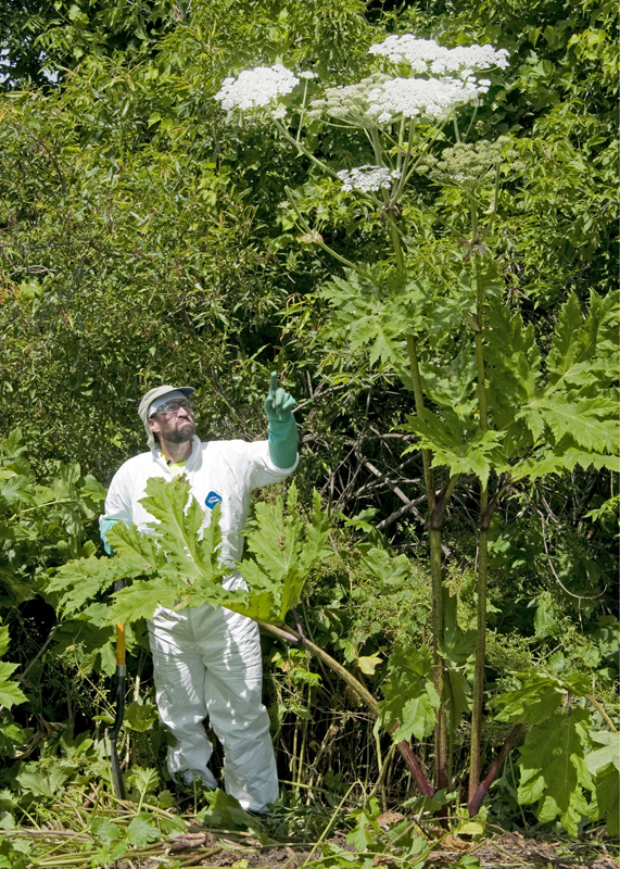 Giant Hogweed From Nys Dec With Man In Protective Clothing