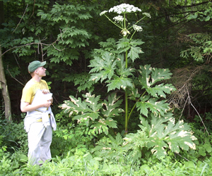 giant hogweed from NYS DEC