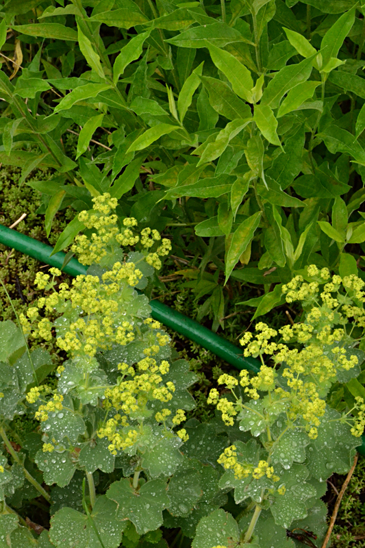 hose among phlox and lady's mantle in garden in Amherst NY