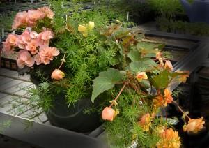 mixed begonias in planter at Buffalo Botanical Gardens