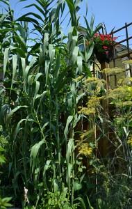 reed grass in Buffalo NY garden