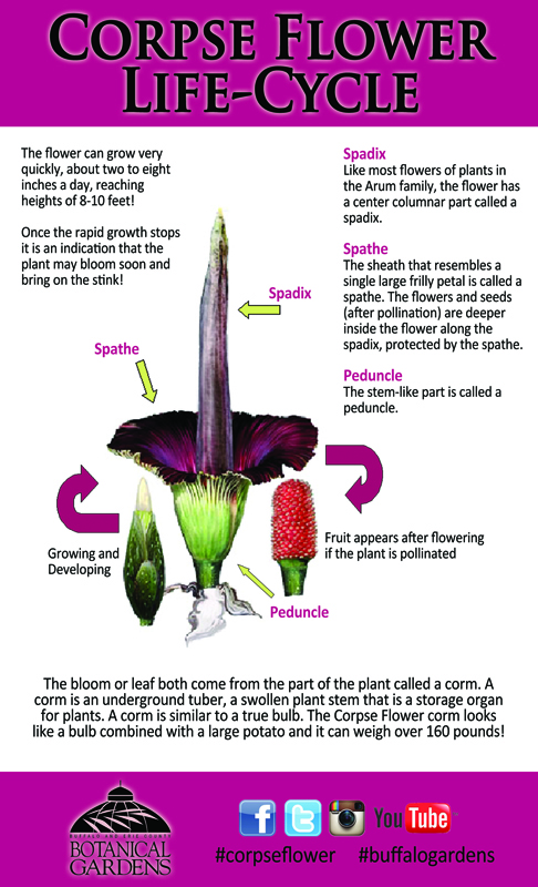 Life Cycle of corpse flower from Buffalo Botanical Gardens