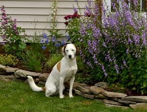 dog by garden in South Buffalo NY