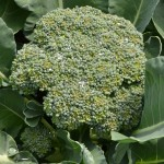 broccoli in Parkside garden in Buffalo NY