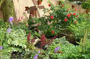 roses and astilbe in West Seneca NY garden