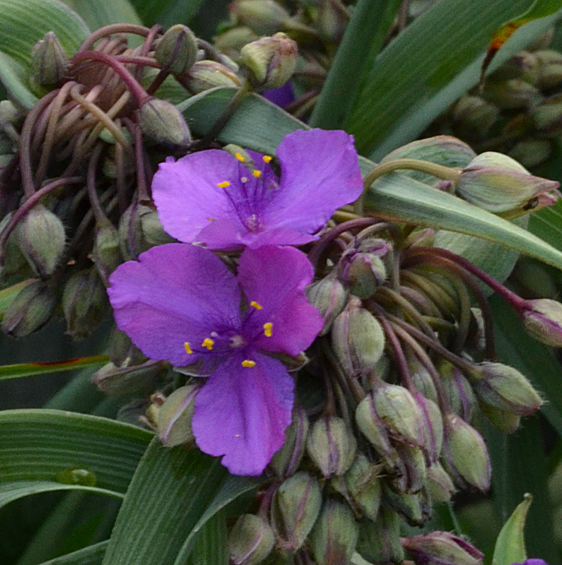 Help a reader: Can you prolong the bloom of a spiderwort?