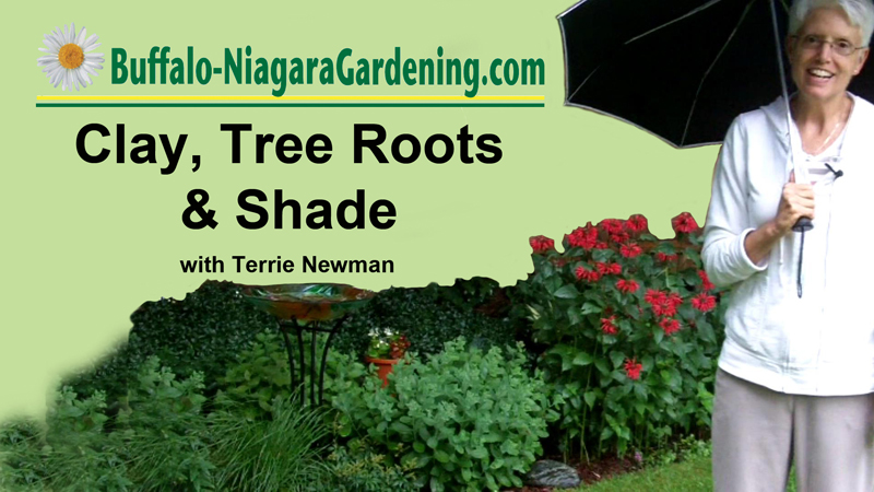 Clay, tree roots & shade: Get tips in this video