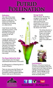 Pollination of corpse flower from Buffalo Botanical Gardens
