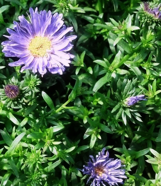 The aster, a perennial, is just beginning to bloom now. Photo courtesy Lockwood's Greenhouses