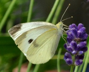 cabbage butterfly in Buffalo NY