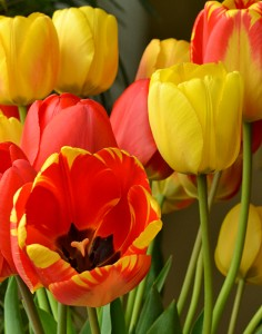 cut tulips in Amherst NY