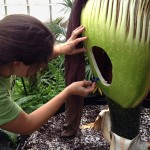 cutting Morty the corpse flower from Buffalo Botanical Gardens