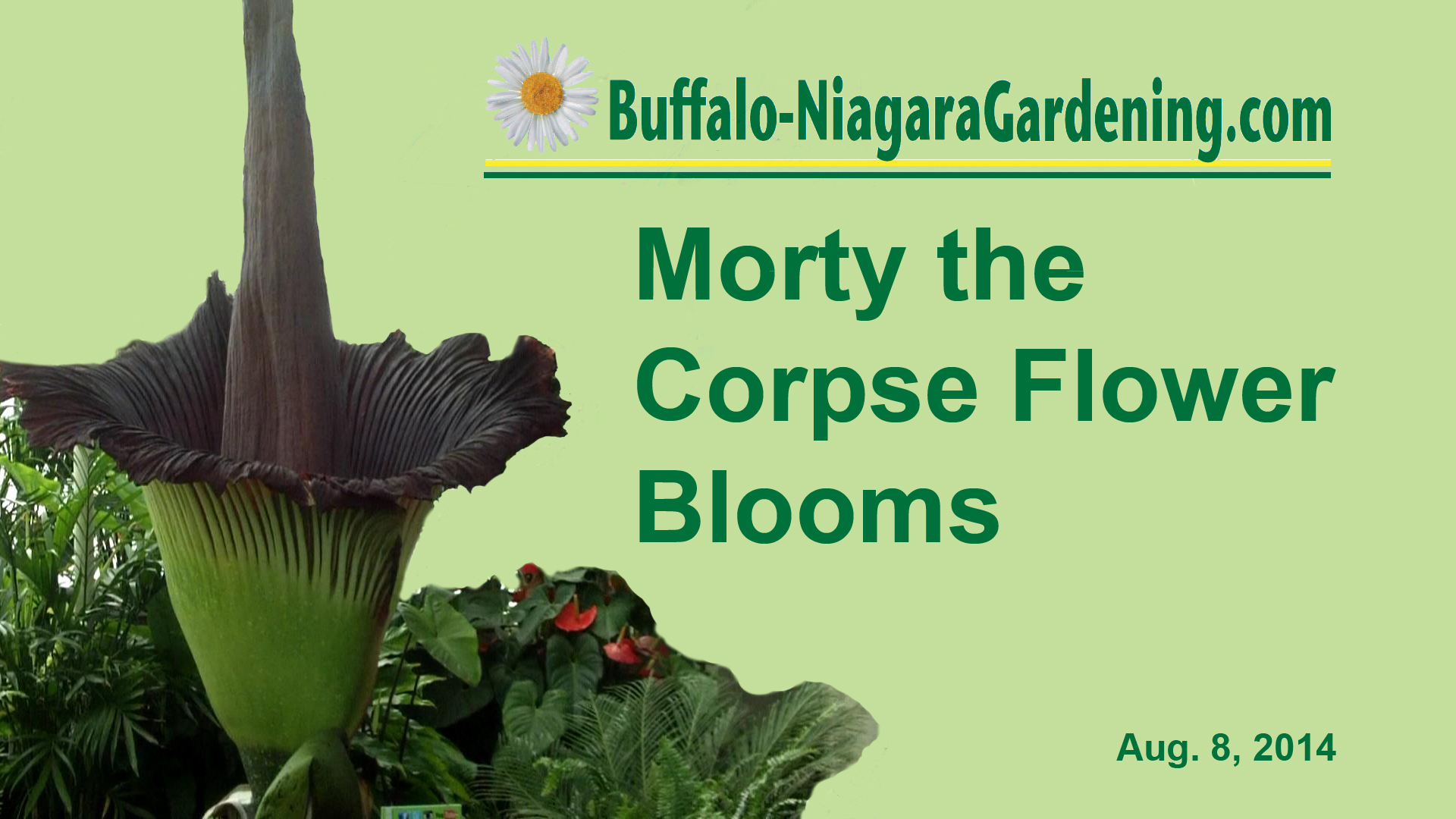 title for video on Morty, the corpse flower at Buffalo Botanical Gardens