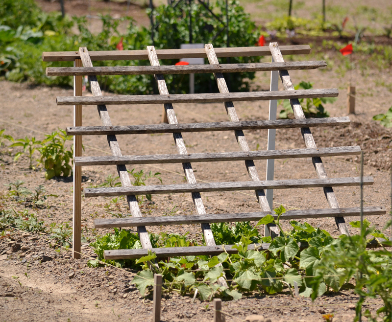 Trellis can support vines & shade lettuce; see 3 examples from Lockwood's community garden