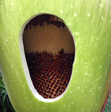 view inside Morty the corpse flower from Buffalo Botanical Gardens