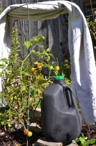 black milk jug retains heat during frost