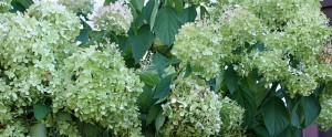 green blooms Sept 28 2014 on hydrangea tree in WNY