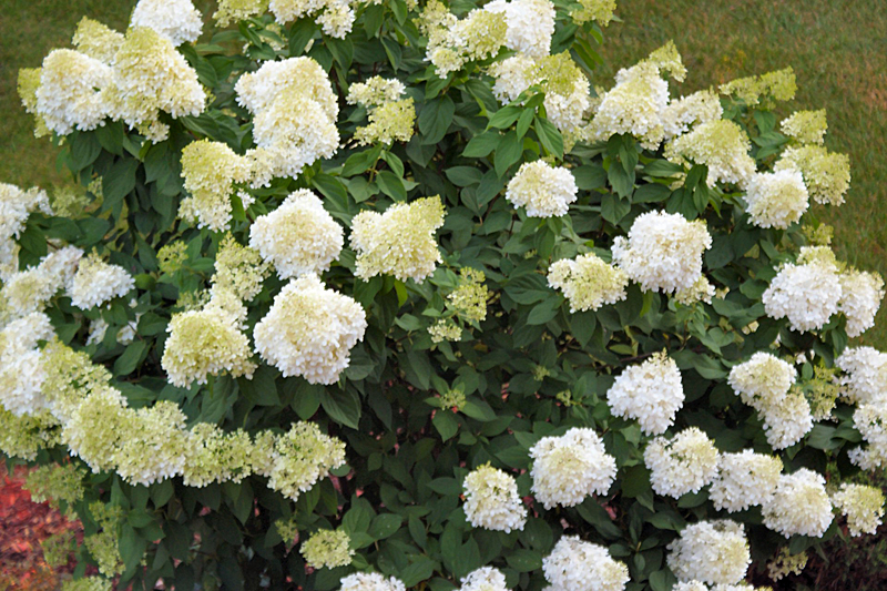 half-green blooms Aug 14 2014 on hydrangea tree in WNY