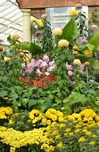 mum show at Buffalo Botanical Gardens 2012