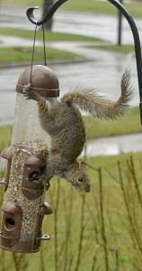 squirrel at bird feeder in rain in Amherst NY