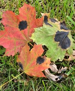 tar spot on maple leaves in Western New York 2014