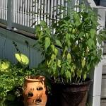sunchokes in pot in Amherst NY