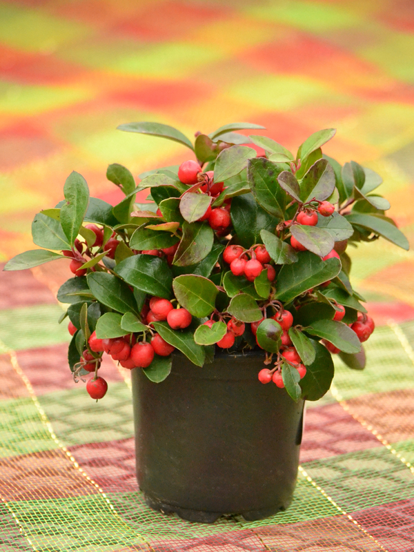 Gaultheria procumbens wintergreen at Lockwood's in Hamburg NY