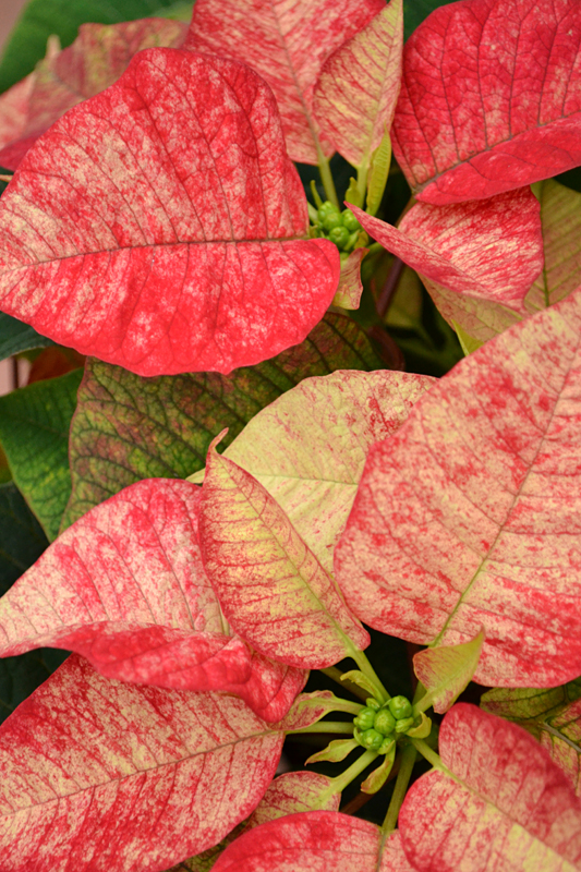 icasso poinsettia at Mischler's in Williamsville