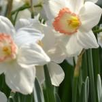 daffodil at Buffalo Botanical Gardens by Connie Oswald Stofko