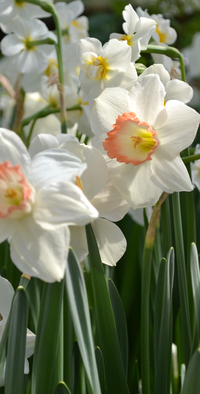 daffodil at Buffalo Botanical Gardens by Connie Oswald Stofko