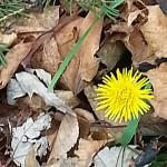 dandelion late November 2014 in Amherst NY