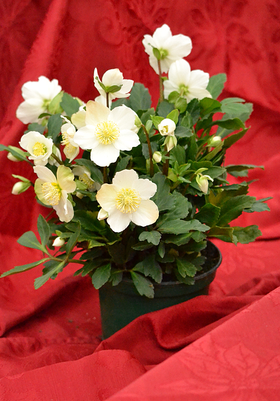 helleborus or Christmas rose at Lockwood's in Hamburg NY