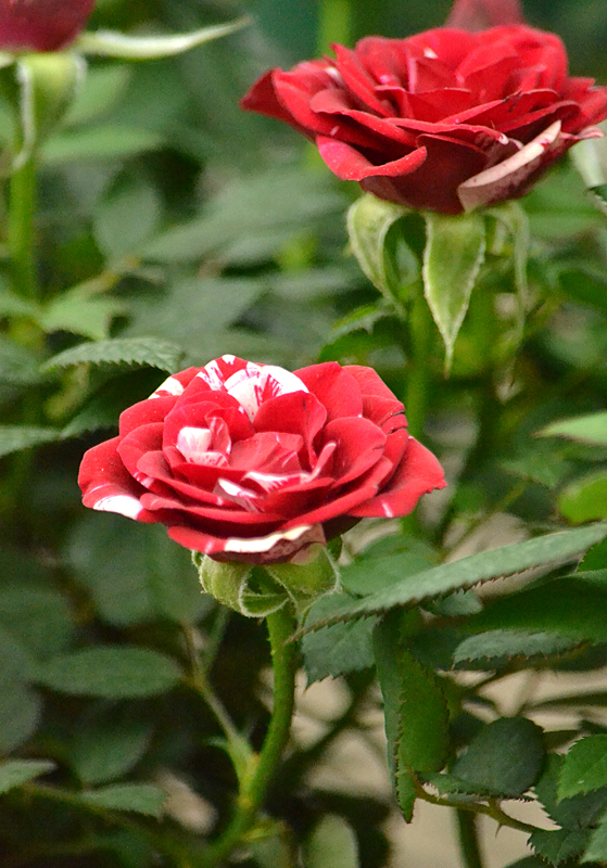 red and white miniature roses at Lockwood's in Hamburg NY