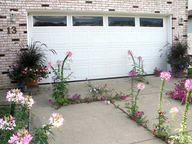 cleome in driveway from Powarski in West Seneca NY