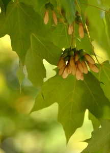 maple seeds on tree in Western New York