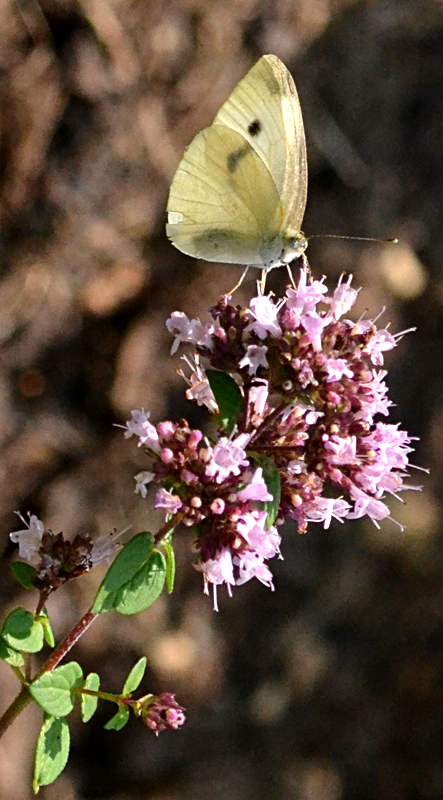 white butterfly on oegano flower in Amherst NY