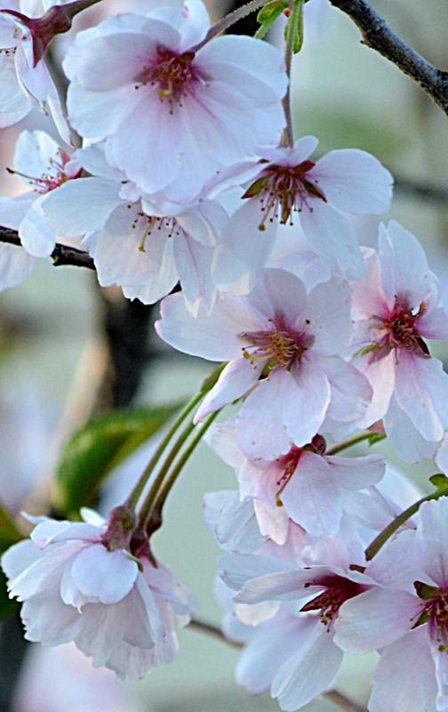 cherry blossoms in Buffalo NY