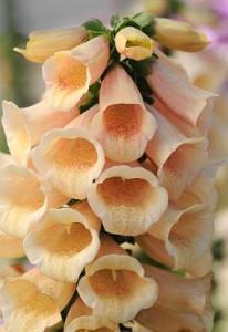 Digitalis Foxglove Dalmation Peach from Ivy Garth